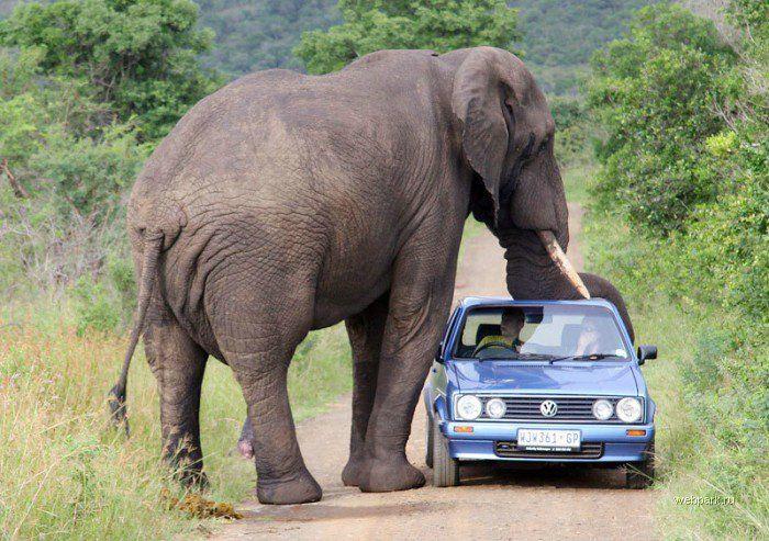 Слон насильник