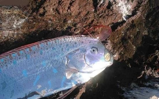 Длинная рыба