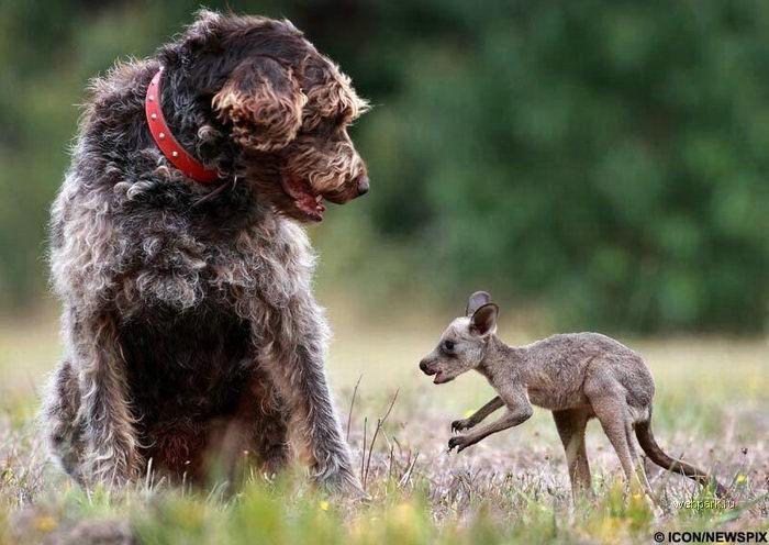 Кенгуру против собаки