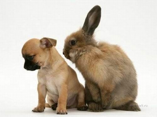Кролик и щенок чихуахуа