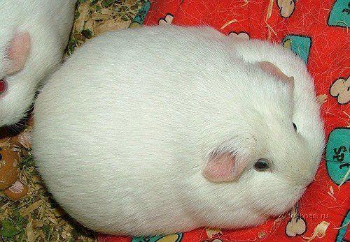 Жирный кролик