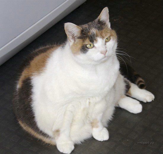 Толстый котяра