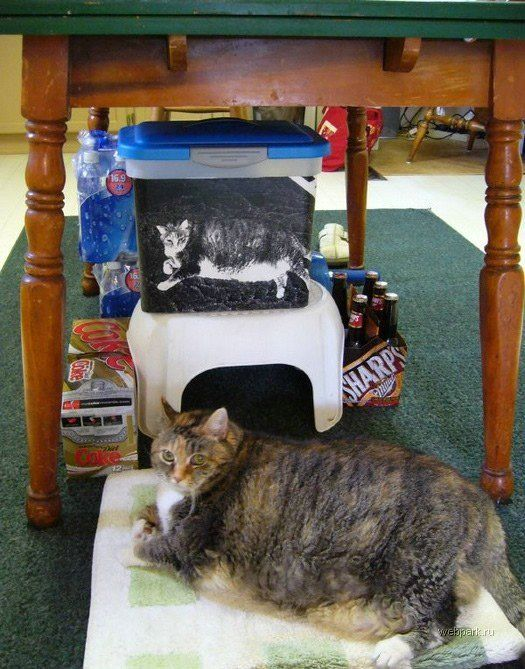 Жирная кошка