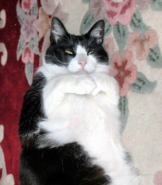 Откормленный кот