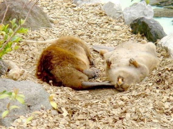 Спящие крысы