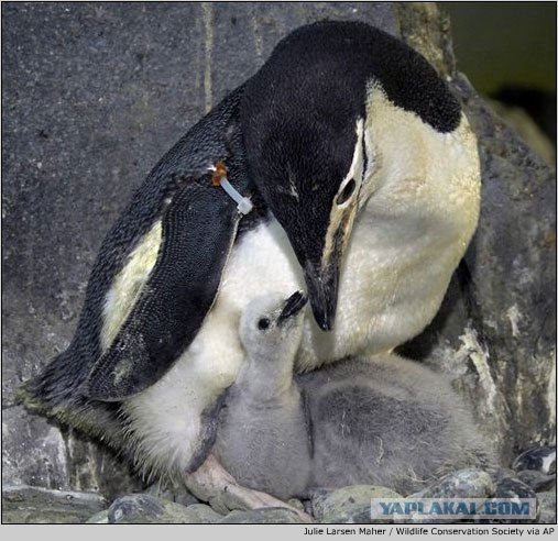 Мама пингвин