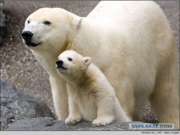 Мама белая медведица