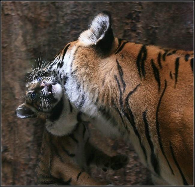 Мама тигрица