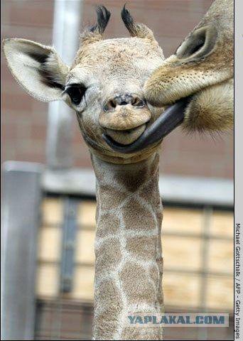 Мама жираф