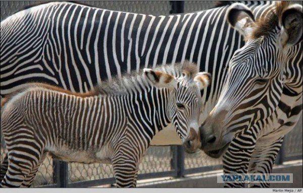 Мама зебра