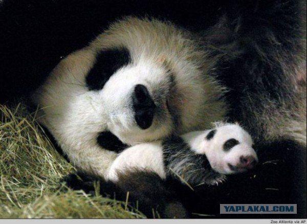 Мама панда
