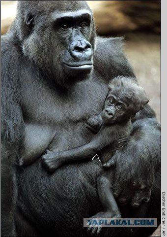 Мама горилла