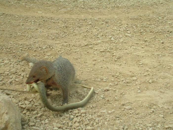 Битва мангуста и змеи