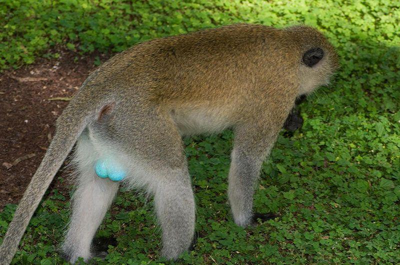 Цветные обезьяньи яйца