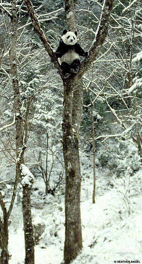 Панда упал с дерева