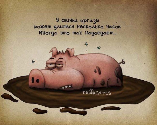 Кайфующая свинья
