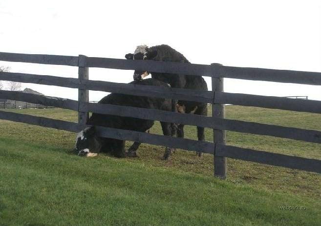 Секс карова с быком