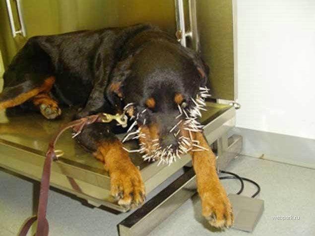 Собака против дикобраза