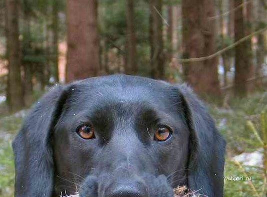 Пес охотник