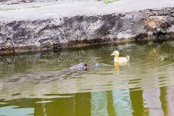 Утенок против крокодила