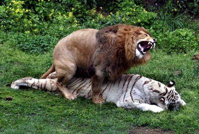 фото рисунки льва