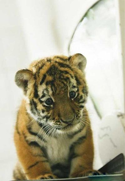 http://zhivhum.ru/wp-content/uploads/2008/08/zhivhum-tigrenok5.jpg