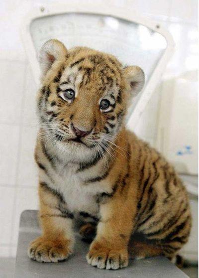 http://zhivhum.ru/wp-content/uploads/2008/08/zhivhum-tigrenok6.jpg